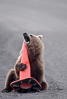 Grizzly Bear cub, Denali National Park, Alaska