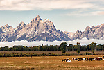 Horses graze in a field in front of the Teton mountains range in Jackson Hole, Wyoming.