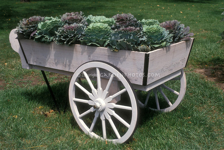Cabbage Harvest in farm wagon with pretty wheel for display of vegetables in autumn, antique cart, recycled for container planter
