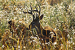 White-tailed deer buck silhouetted in golden afternoon light, National Bison Range, Montana, USA