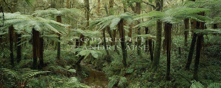Tree ferns in Kahurangi National Park. New Zealand.