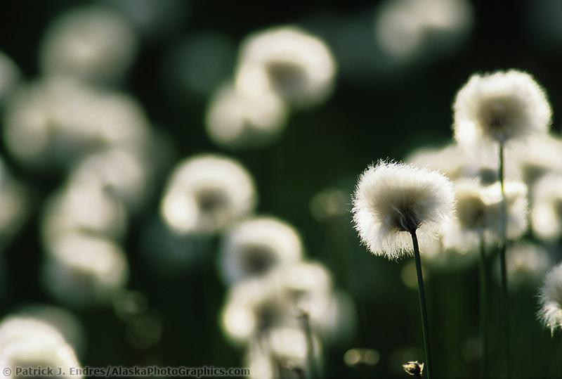 Alaska Cotton grass, Denali National Park, Alaska