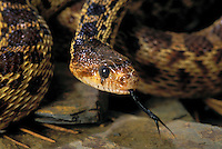 GREAT BASIN GOPHER SNAKE..Western USA & B.C., Canada..(Pituophis melanoleucus deserticola).