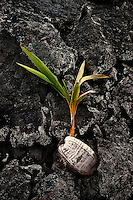 Plant growing from coconut on black lava rock.