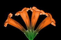 X-ray of Trumpet Vine or Trumpet Creeper (Campsis radicans), a popular garden vine used to attract nectar feedars such as hummingbirds. Unfortunately it is difficult to control, invasive, and hard to eradicate.