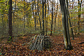 Autumn in Stoke Wood, Oxfordshire.