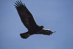 Golden eagle soaring through the sky in Wyoming.