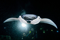Scuba divers and Manta Ray, Manta alfredi, feeding on plankton at night, off Kona Coast, Big Island, Hawaii, Pacific Ocean
