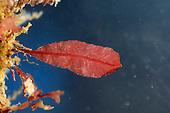 sea beech<br /> Delesseria sanguinea
