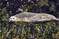 Harbor Seal, Point Pinos Pacific Grove