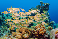 Smallmouth grunt, Haemulon chrysargyreum, Bonaire, Caribbean Netherlands, Caribbean
