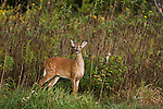 White-tailed fawn in late summer