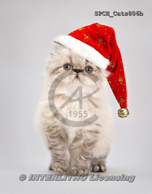 Xavier, ANIMALS, REALISTISCHE TIERE, Christmas,Navidad,cat, photos+++++,SPCHCATS806B,#a#