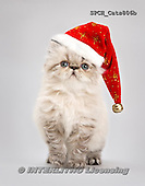 Xavier, ANIMALS, REALISTISCHE TIERE, Christmas,Navidad,cat, photos+++++,SPCHCATS806B,#a#