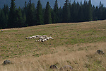 Owce na Rusinowej Polanie, Tatry, Polska<br />