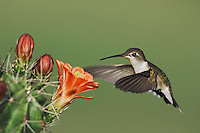 Ruby-throated Hummingbird, Archilochus colubris, female in flight feeding on Claret Cup Cactus(Echinocereus triglochidiatus) , Uvalde County, Hill Country, Texas, USA