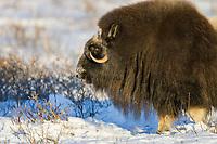Bull muskox on the snowy tundra of Alaska's Arctic Coastal Plain.