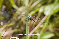 06496-00212 Arrowhead Spiketail dragonfly (Cordulegaster obliqua) female in fen, Reynolds Co., MO