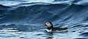 THE ISLES OF SCILLY SEABIRD RECOVERY PROJECT. PUFFINS IN THE WESTERN ROCKS.<br /> 17/06/2015. PHOTOGRAPHER CLARE KENDALL.
