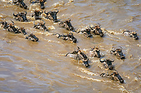 blue wildebeest, common wildebeest, white-bearded wildebeest, or brindled gnu, Connochaetes taurinus, herd, crossing Mara River during miration, Maasai Mara National Reserve, Kenya