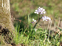 Tiny delicate plants of blue phlox blossoming under a tree near Oconaluftee river at the great smoky mountain national park - A Free Stock Photo.