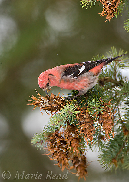 White-winged Crossbill (Loxia leucoptera), male feeding on Douglas-fir cones, Ithaca, New York, USA
