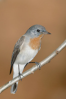 Taiga Flycatcher - Ficedula albicilla