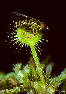 CA07-001b  Sundew - flower fly caught in sundew - Drosera rotundifolia