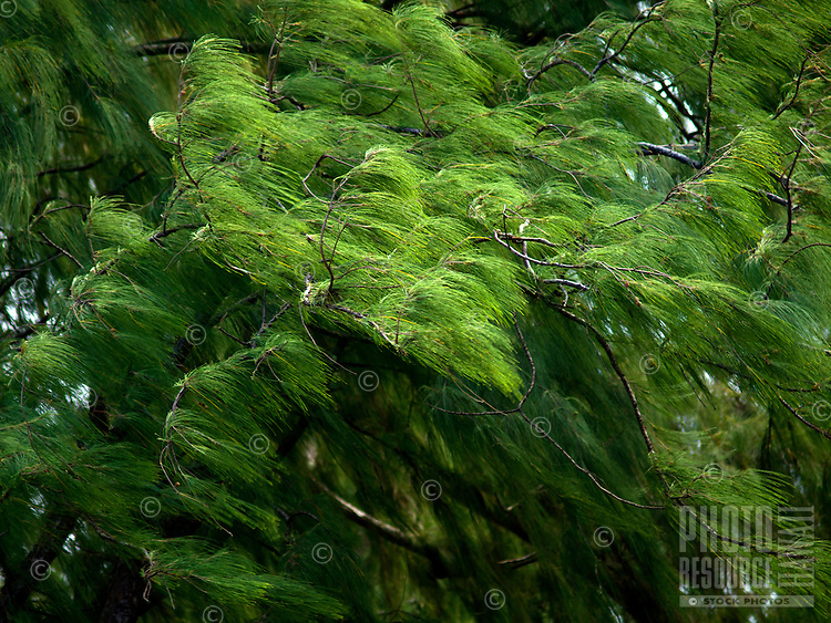 An intimate view of the green branches of an ironwood tree in windy Waipi'o Valley, Hamakua Coast, Big Island.