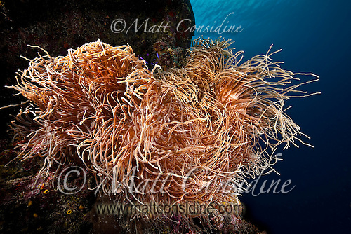 Large anemone look like hair waving and swirling in the current, Yap Micronesia (Photo by Matt Considine - Images of Asia Collection) (Matt Considine)