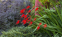 Crocosmia 'Lucifer' flowering with Corokia cotoneaster in background Albers Vista Gardens