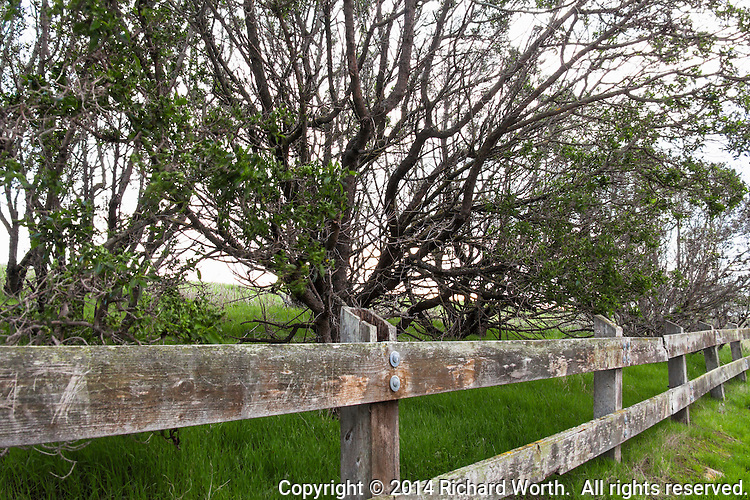 A weathered fence and the tangle of tree branches provide a comparison opportunity  - wood natural and wood manipulated.
