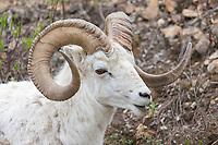 Full curl dall sheep ram, Denali National Park, Alaska.