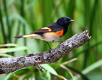 Adult male American redstart