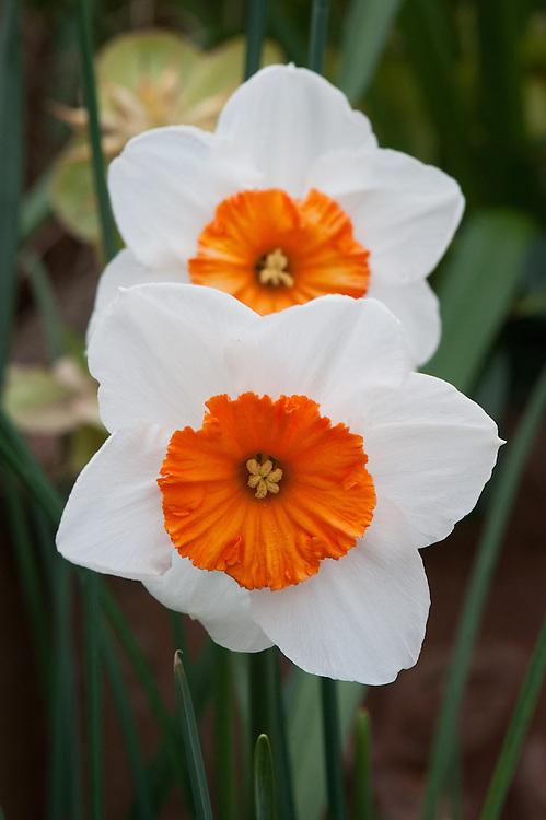 Narcissus 'Professor Einstein', mid April.