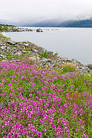 Dwarf fireweed, Harriman Fjord, Prince William Sound, Alaska