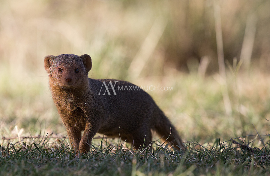 This tiny critter is my favorite mongoose species.