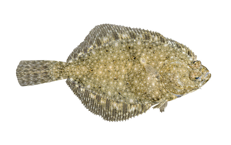 Flounder Platichthys flesus Length to 50cm<br /> One of our most widespread and familiar flatfish. Found on sandy substrates, and young animals often occur inshore. Adult lives with right side, and eyes, facing uppermost. Outline is elongate-oval, and head, tail and tail stock are proportionately large. Mottled patterning resembles sand and gravel. Widespread and locally common.