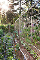 Sun light in California organic vegetable garden with tomato cages and string trellis suport for beans;MUST CREDIT: Elvin Bishop Garden
