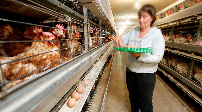 Susan Schafers collects loose eggs at her Stony Plain, Alberta farm, on Wednesday July 04, 2004. For the story on supply management. John Ulan/Epic Photography Inc..
