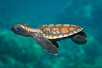 Junenil Hawksbill turtle, Eretmochelys imbricata, Paradise Island, Palawan, Philippines, Indo-Pacific Ocean