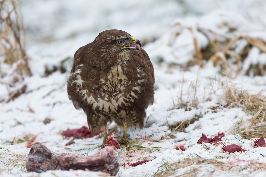 Mäusebussard, am Luder, Schlachtabfälle, ausgelegtes Fleisch zum Füttern, Vögelfütterung, Fütterung, Winterfütterung, Winter, Schnee, Mäuse-Bussard, Bussard, Buteo buteo, common buzzard, bird's feeding, La Buse variable