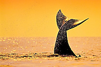humpback whale, Megaptera novaeangliae, calf tail-slapping or lobtailing at sunset, fluke silhouette, Hawaii, USA, Pacific Ocean