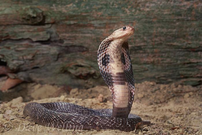 indian cobras naja naja naja are tropical jungle highly