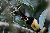 Collared Aracari, (Pteroglossus torquatus), is a toucan, which breeds from southern Mexico to Panama; also Ecuador, Colombia and Venezuela.