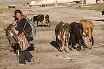 A Tibetan girl with cows and milkjars going out to pasture in the early morning in Tingri in Tibet.