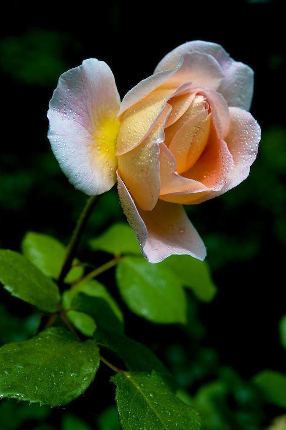 A rose in bloom after a spring rain shower, in a backyard garden in Rockville Centre, New York.