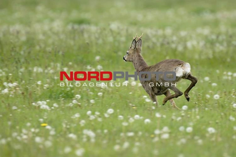 Reh, (lat. capreolus capreolus), Rehbock flŁchtend, flŁchtig, laufend, Geschwindigkeit, in Wiese, Jagd, Saeugetier, <br />  Bewegung<br /> <br /> Foto: nordphoto *** Local Caption *** Original Naturfoto - hŲhere AuflŲsung auf Anfrage - Dig. Foto