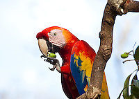 Scarlet Macaw, Copan, Honduras