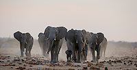 Elephant herd with baby in their midst approaching over a pan covered with elephant droppings.<br />